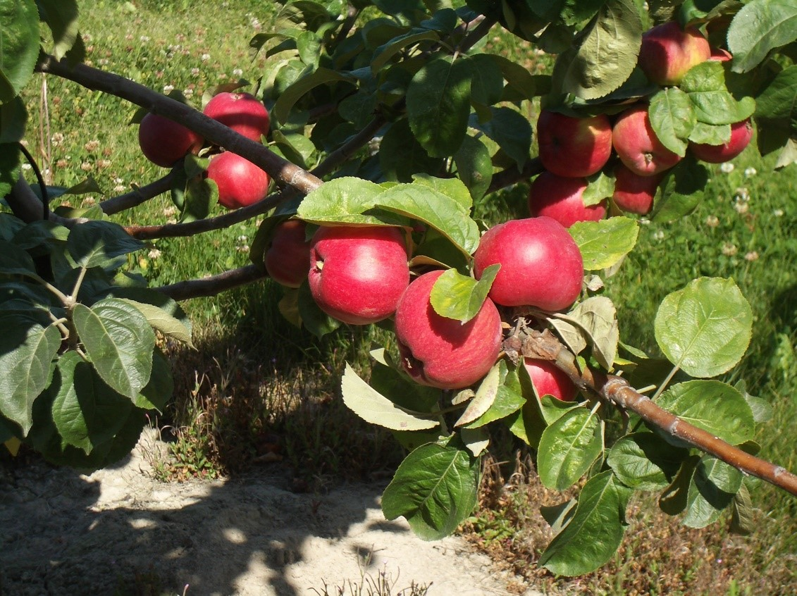 Cider Apple Variety: Tom-Putt