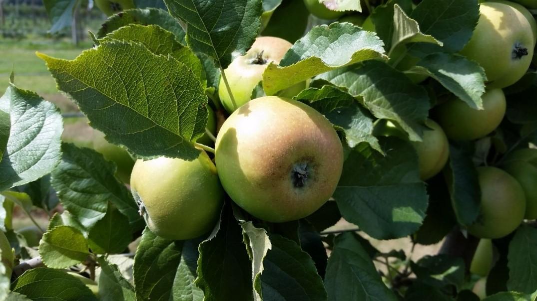 Cider Apple Variety: Vilberie