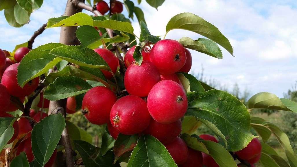 Cider Apple Variety: Virginia-Crab-Hewes