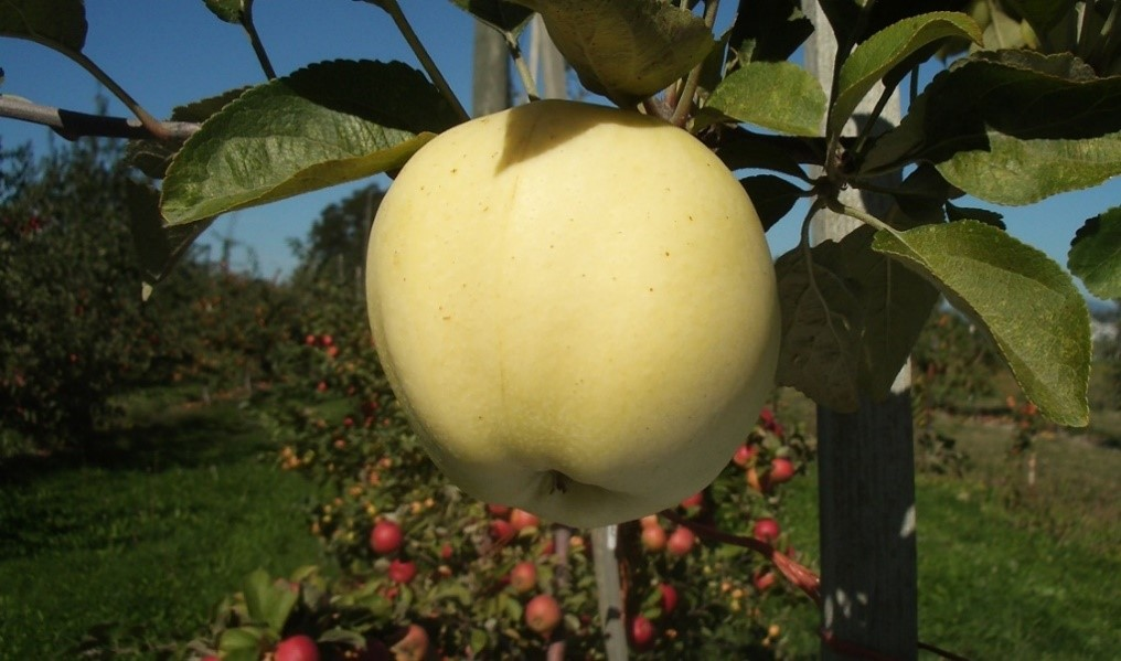 Cider Apple Variety: Whidbey