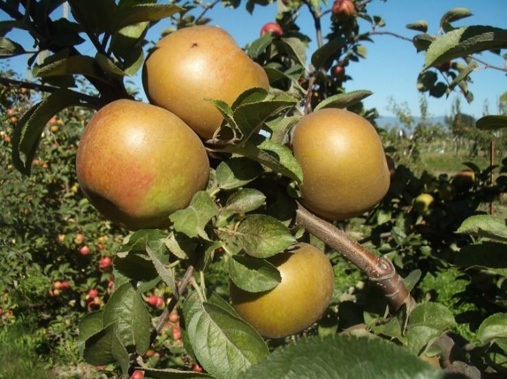 Cider Apple Variety: Zabergau-Reinette