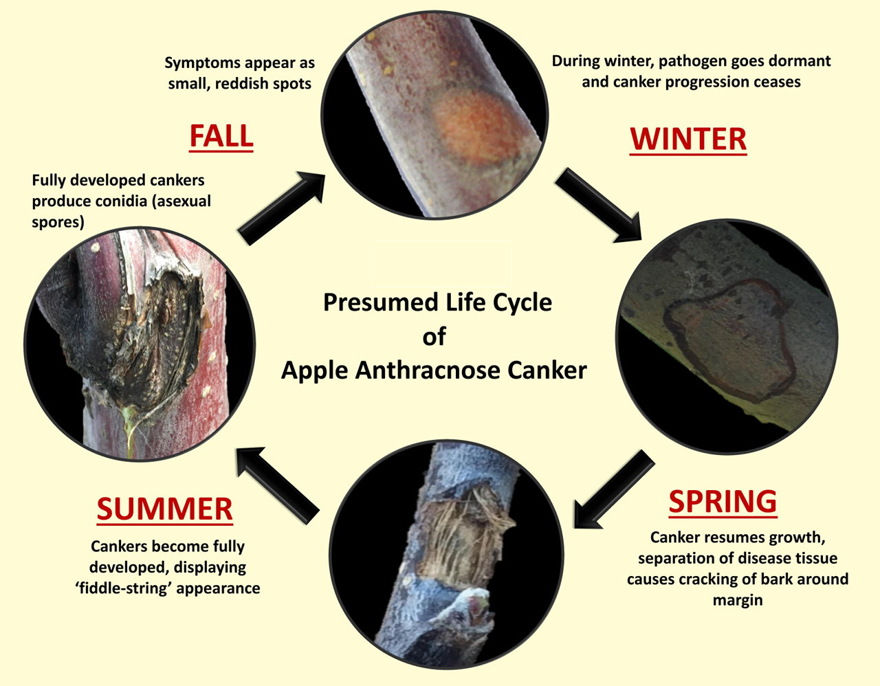 Graphic of presumed life cycle of anthracnose cankers