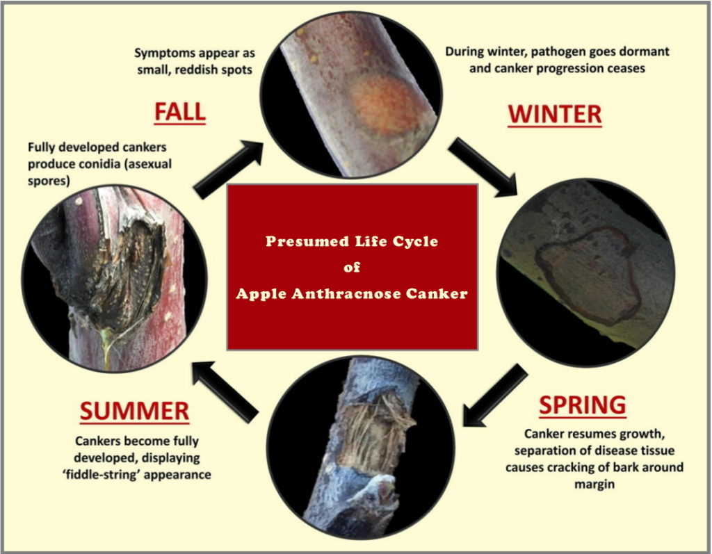 Life cycle of apple anthracnose canker in 4 different seasons