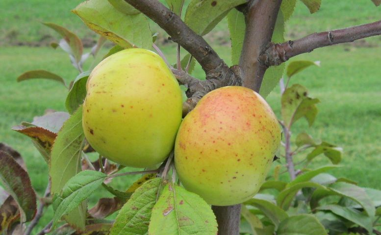 Cider Apple Variety: Bedan-de-Parts