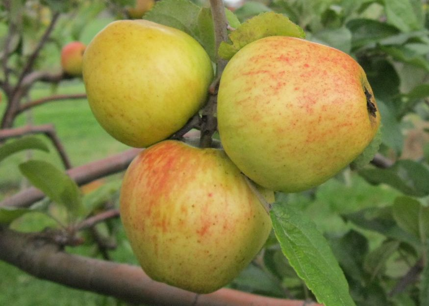 Cider Apple Variety: Bramtot
