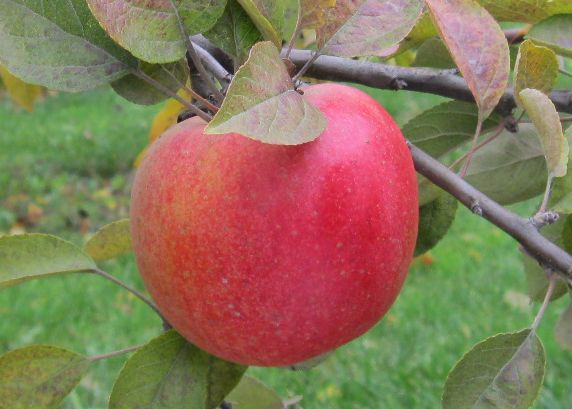 Cider Apple Variety: Cort-Pendu-Rose