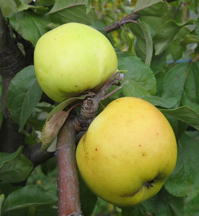 Cider Apple Variety: Ellis-Bitter