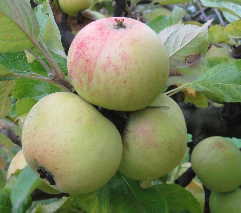Cider Apple Variety: Jouveaux