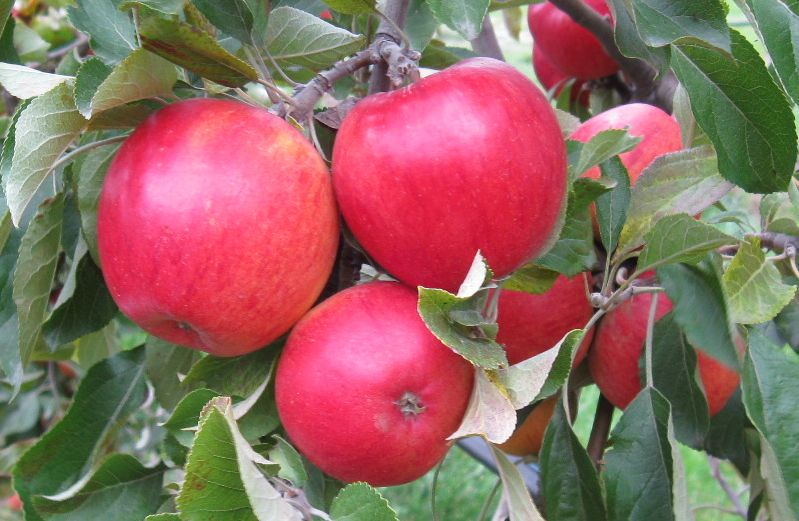 Cider Apple Variety: Margil
