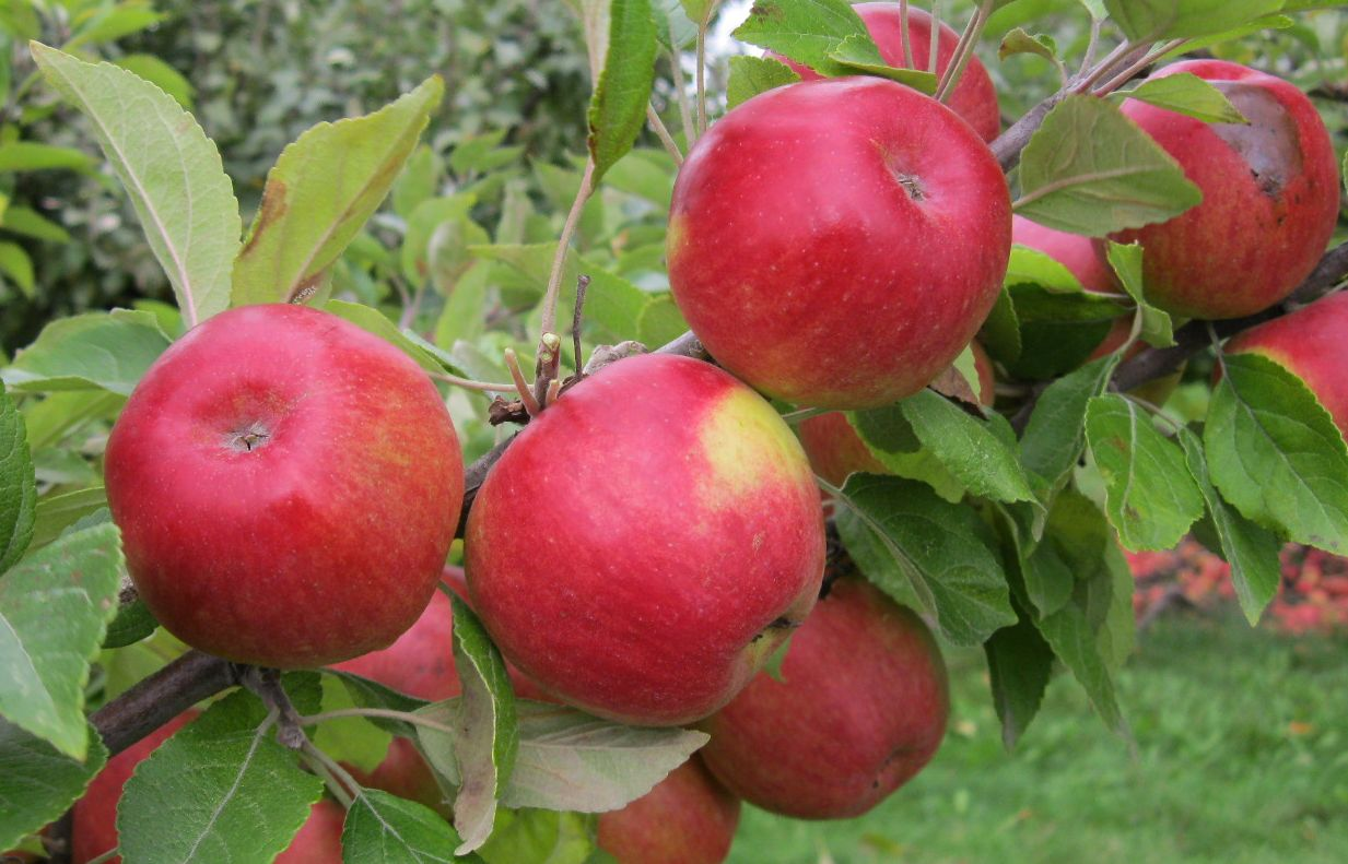 Cider Apple Variety: Marin-Onfroy