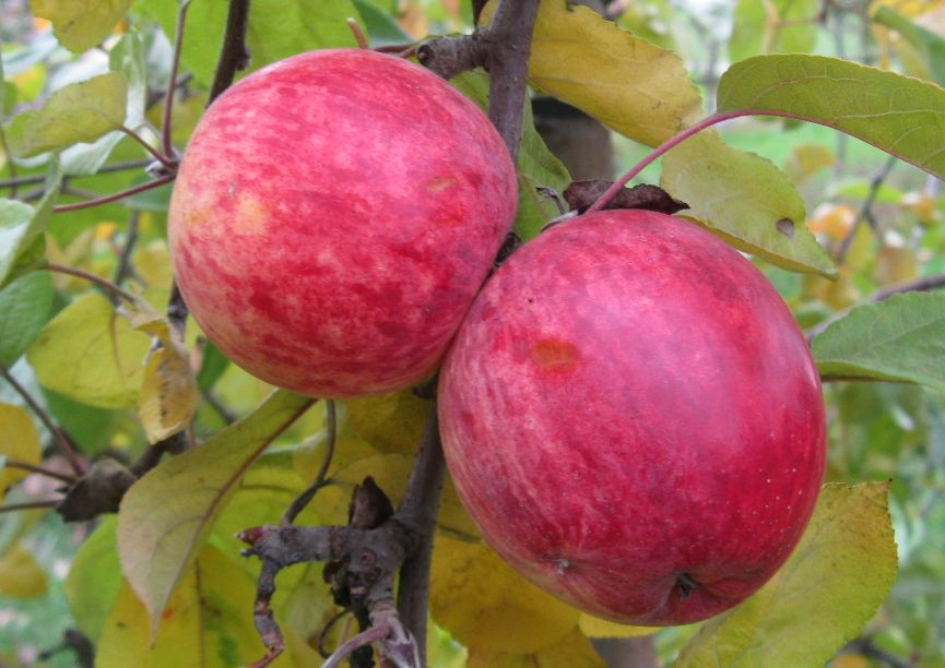 Cider Apple Variety: Maude