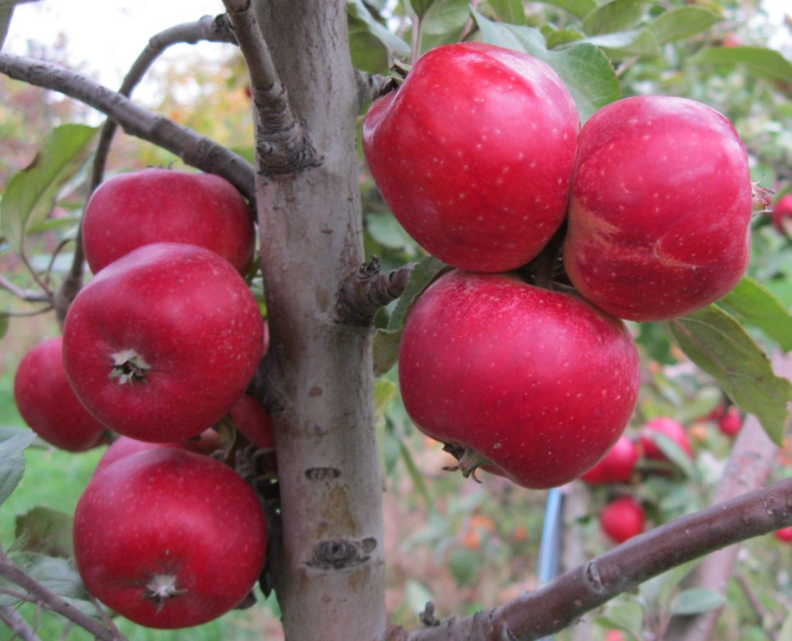 Cider Apple Variety: Porter's-Perfection