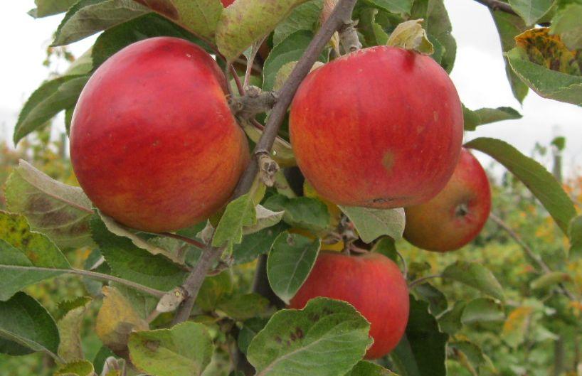 Cider Apple Variety: Ribston-Pippin