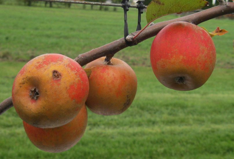 Cider Apple Variety: Rosemary-Russet