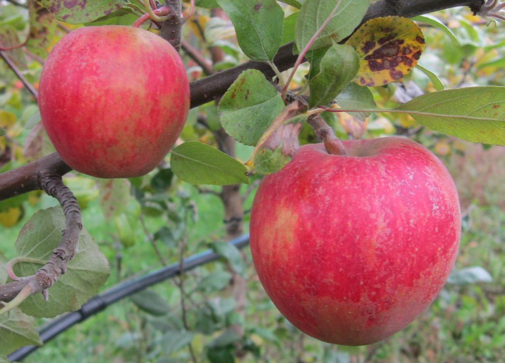 Cider Apple Variety: Ross-Nonpareil