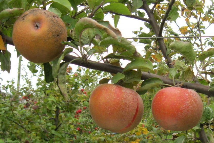Cider Apple Variety: Russet-King