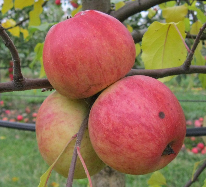 Cider Apple Variety: Stembridge-Jersey