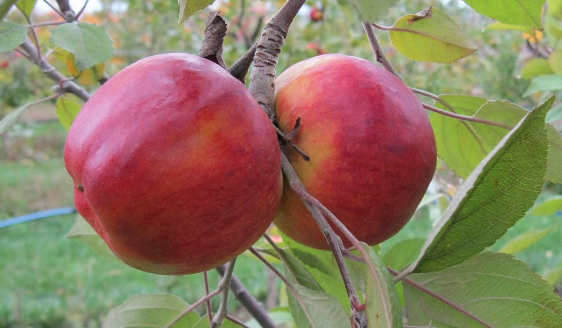 Cider Apple Variety: Stoke-Red