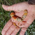 A hand holding two burrowing shrimp.