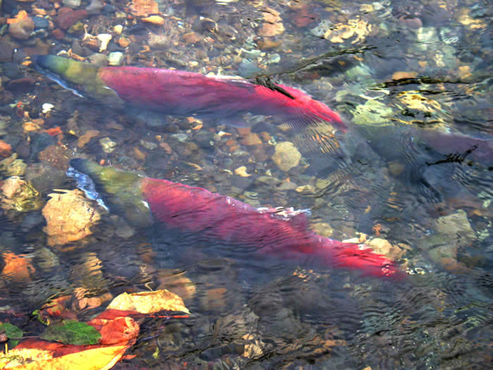 Two salmon swimming in a stream.