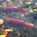 two salmon in a shallow stream.