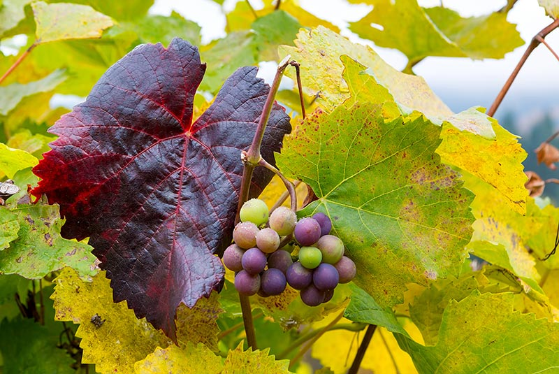 A cluster of green and purple grapes on a vine that is turning colors.
