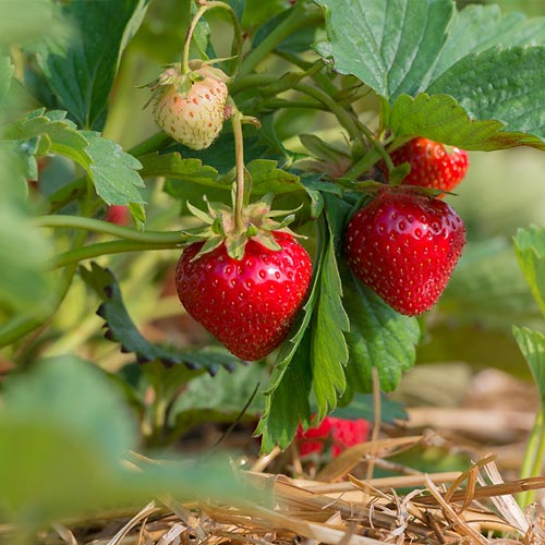 A cluster of ripe and unripe strawberries