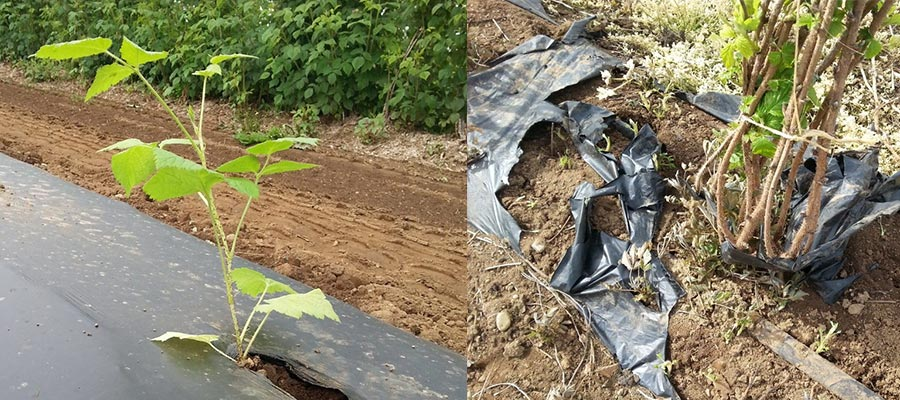 Two photos, one with berry plant growing through a black tarp over and other with mangled black tarp around a berry plant.
