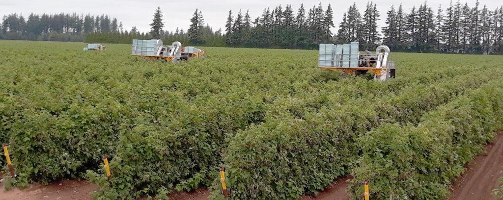 Mechanical harvesting of 'WakeHaven' raspberry