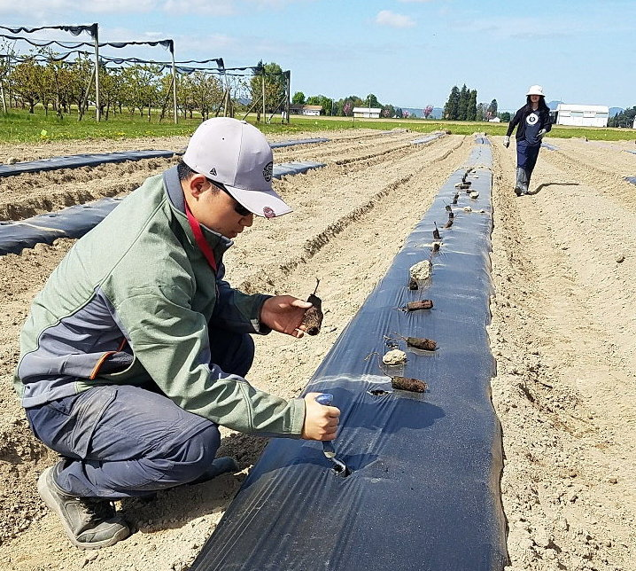 Graduate student Huan Zhang planting dormant tissue culture raspberry transplants in a plot treated with biodegradable plastic mulch