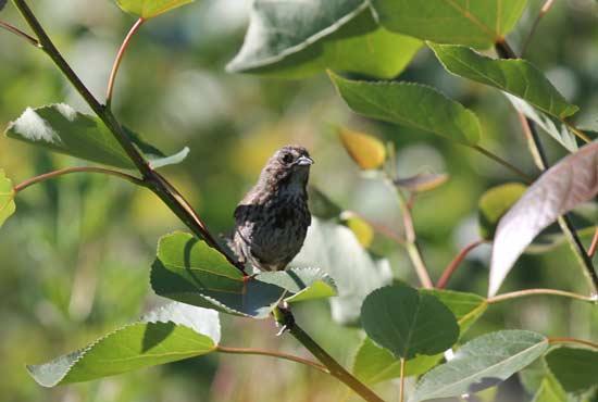 A bird sitting on a poplar tree branch