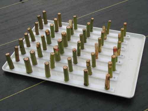 Poplar stems arranged on a tray.