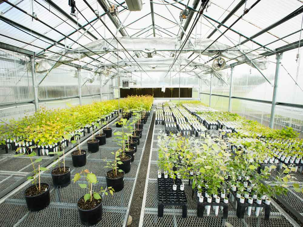A greenhouse filled with young poplar trees