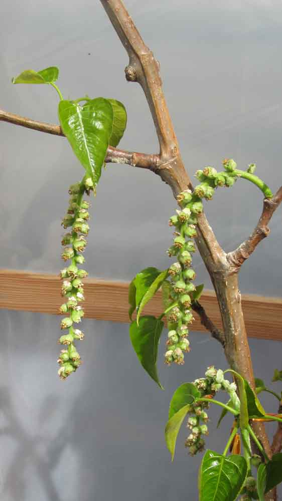 The female catkins of a poplar tree