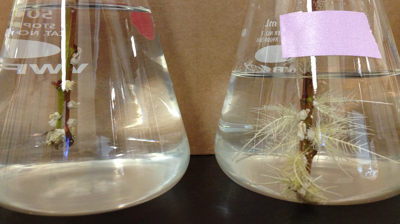 Two beakers of water with a poplar cutting in each one.