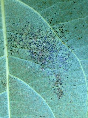 Black spots on a poplar leaf