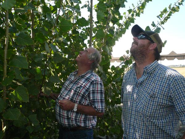 Bob and Bobby Kirtlan look up at their poplar trees.
