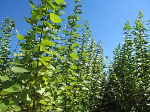 Poplar trees growing at the Clarksburg demonstration site.