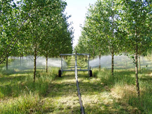 Treated wastewater being sprayed onto poplar trees