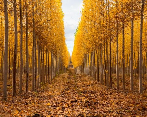 Poplar trees growing at the Boardman Tree Farm in eastern Oregon.