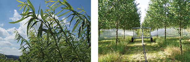 Willow being grown and Poplar being irrigated with wastewater.