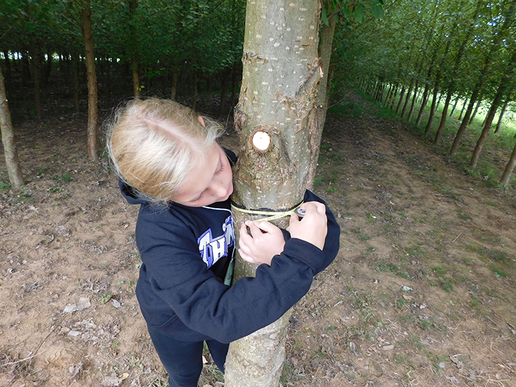 A girl measuring the circumference of a poplar tree with a measuring tape.