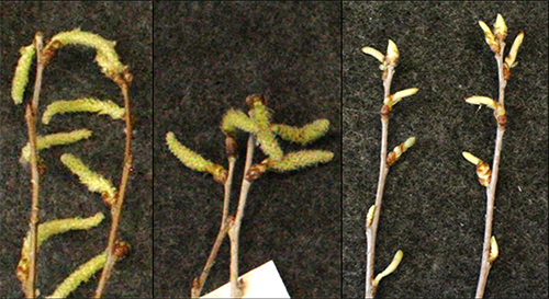 Dormant poplar buds that have opened into catkins.