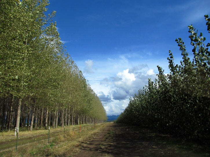 The view driving up to the Hayden demonstration site, with poplars growing on both sides of the road.