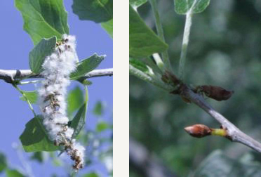 "Typical poplar pollen on the left, poplar with its flowering gene ""turned down"" on the right"