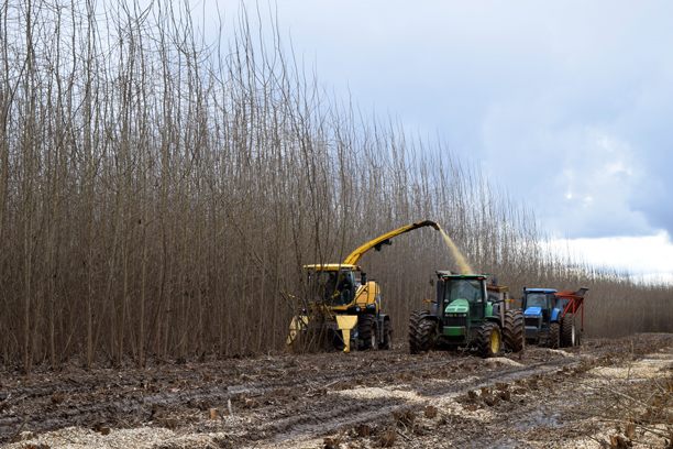The yellow forage harvester mowing down and chipping a row of poplar trees at the Jefferson, Oregon demonstration site.