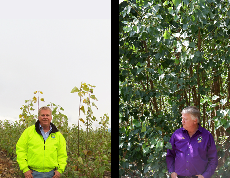 Ken Wyndram standing next to the young poplars trees (left) and then in front of the older trees (right).