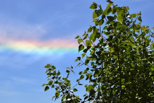 A photo of the Pilchuck poplars with a rainbow stretching across the sky behind them.
