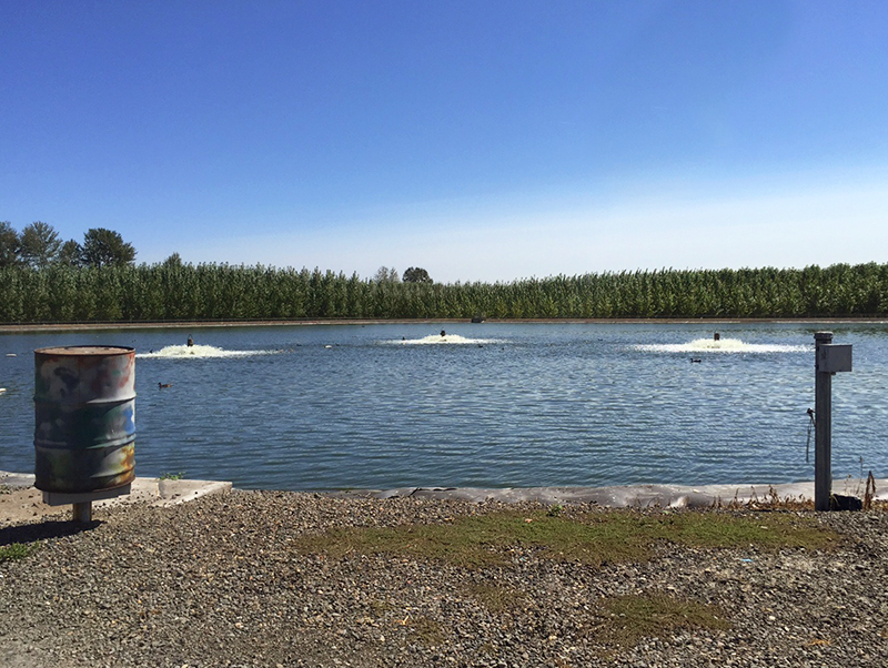 Poplar trees grow behind a wastewater treatment pond.