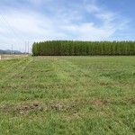 The Hayden demonstration site, a field of grass, before the poplars were planted.